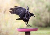 crow1sonyaliraphotography