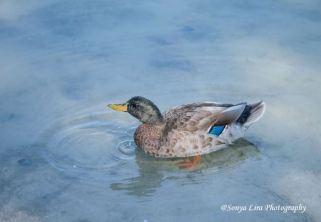 duck1