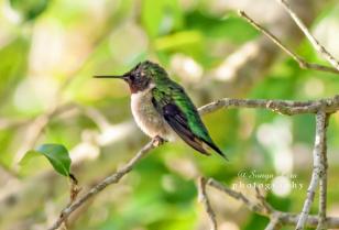 hummingbirdmanveltexas2015-1