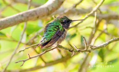 hummingbirdmanveltexas2015-2
