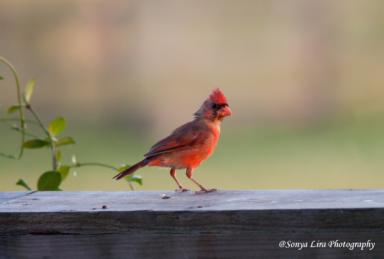 life-redbird