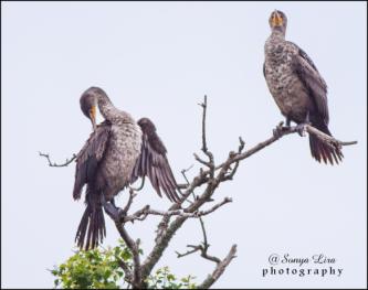 sonyaliraphotographycormorant1