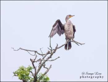 sonyaliraphotographycormorant3