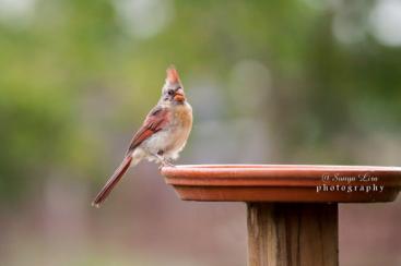 sonyaliraphotographyjuvenileredbird