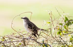 sonyaliraphotographymockinbird