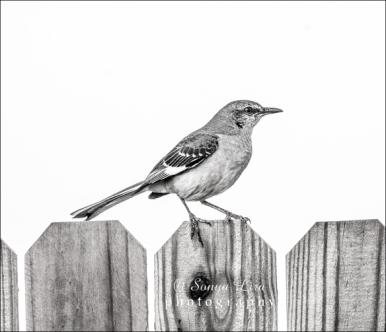 sonyaliraphotographymockinbird2
