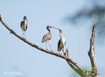 threebirds2
