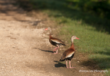whistlingducks2
