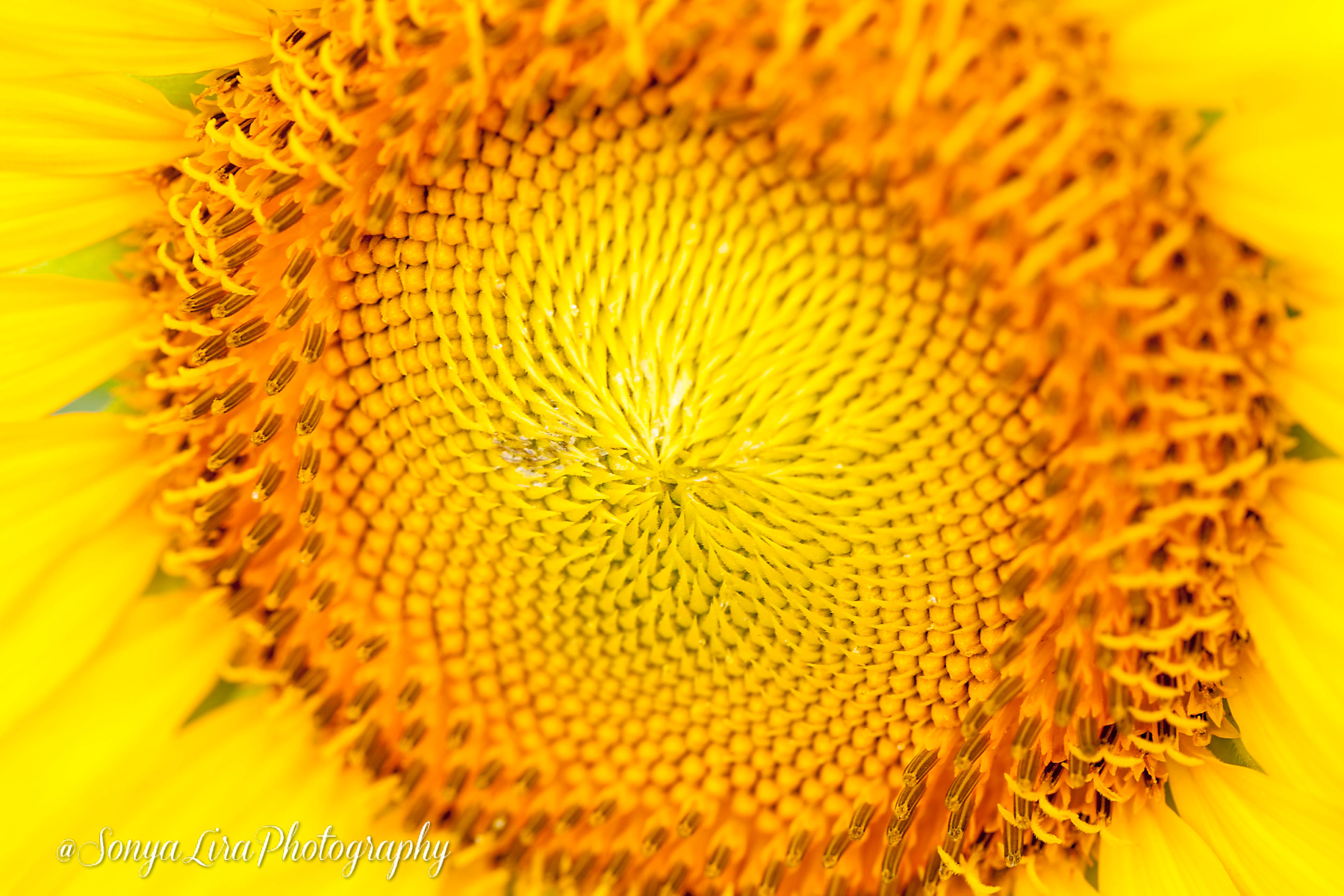 SonyaLiraPhotographySunflower3