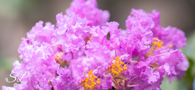 CrepeMyrtle3