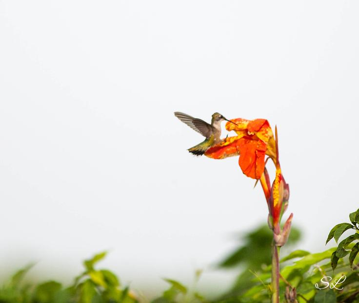 hummingbird1