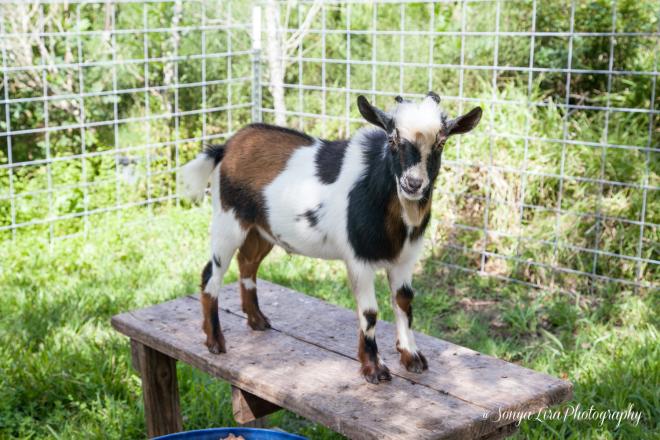 GoatTexas2
