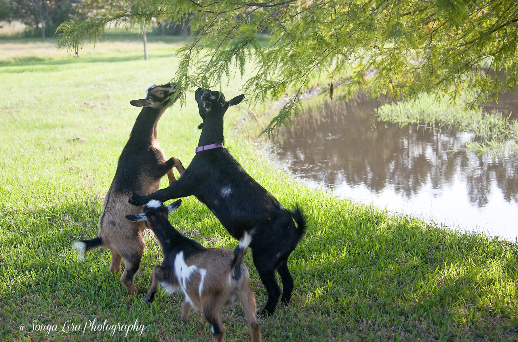 Goats1