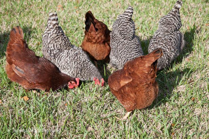 Olderchickens1