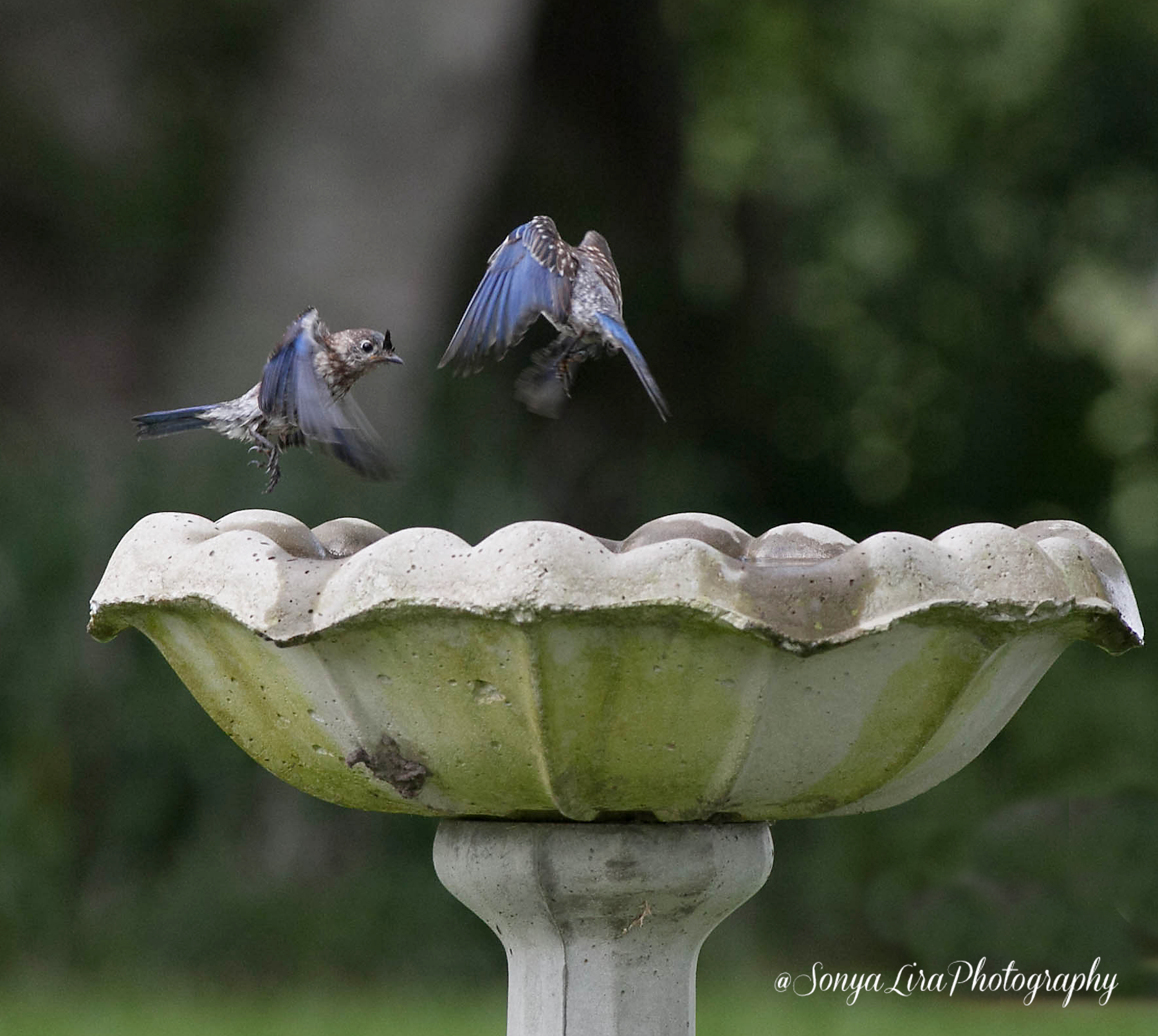 Bluebirdfriends1