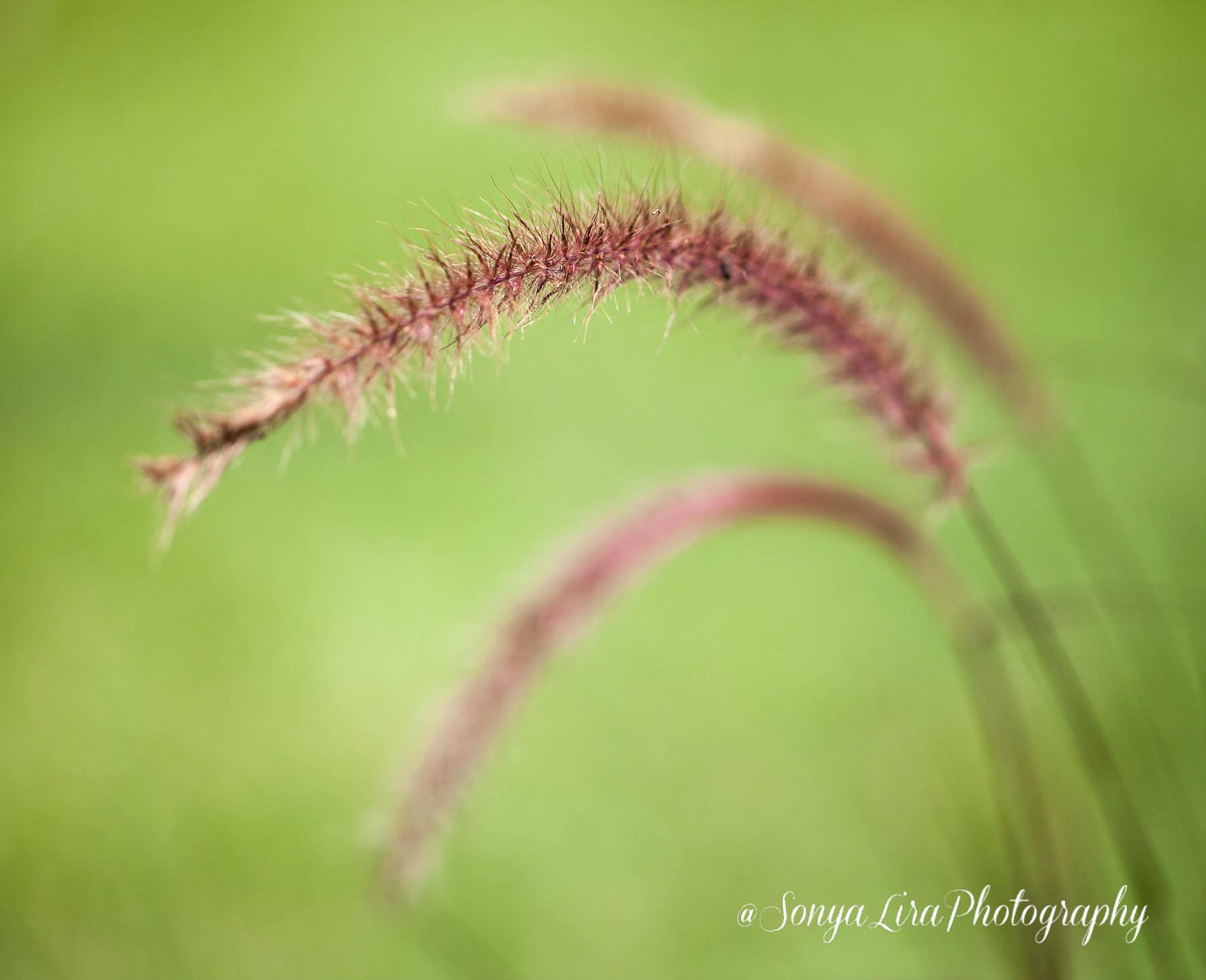 Fountaingrass1