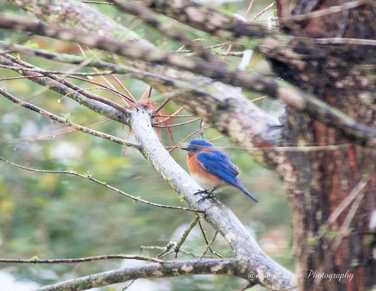 EasternBluebird