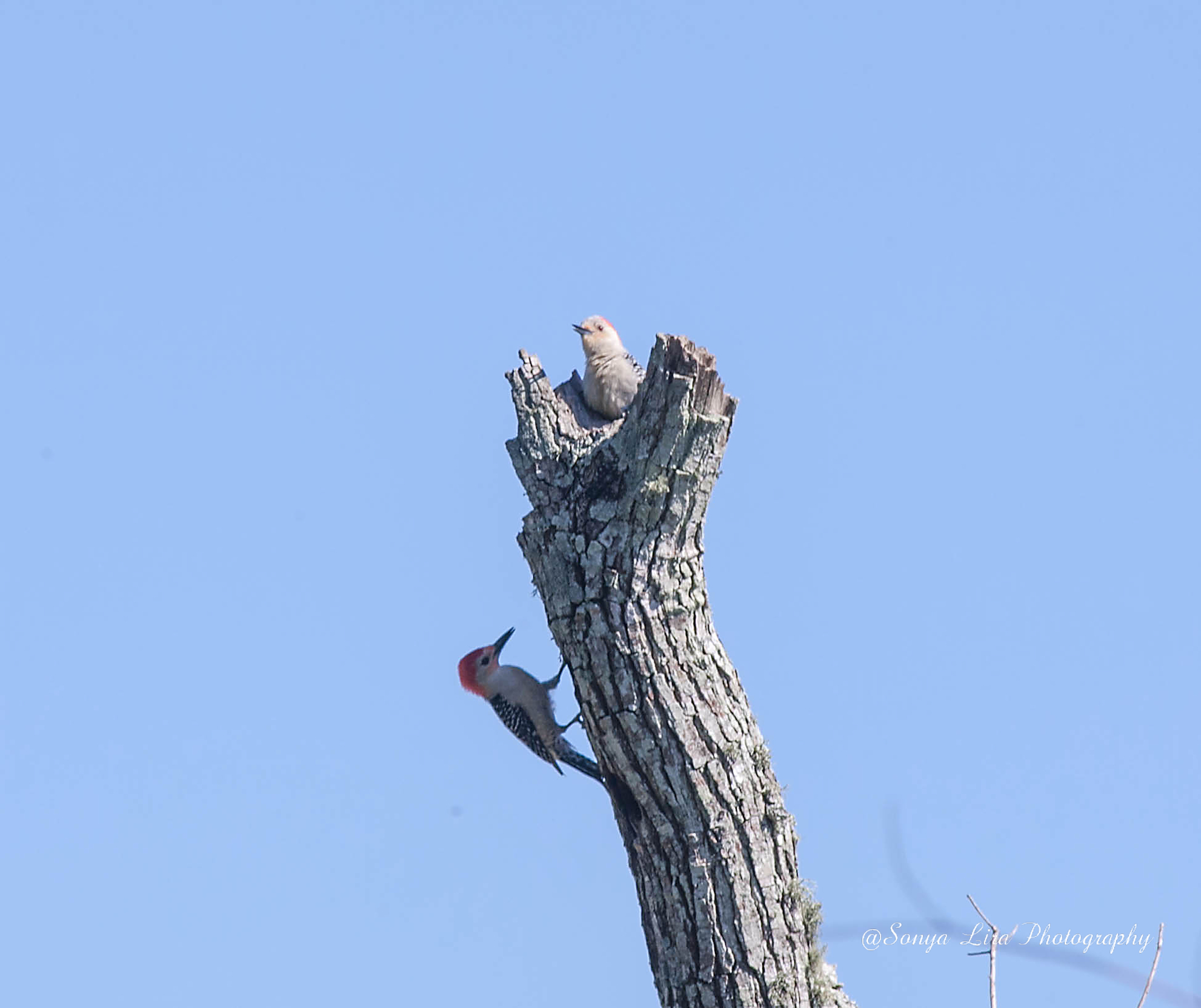 TwoWoodpeckers1