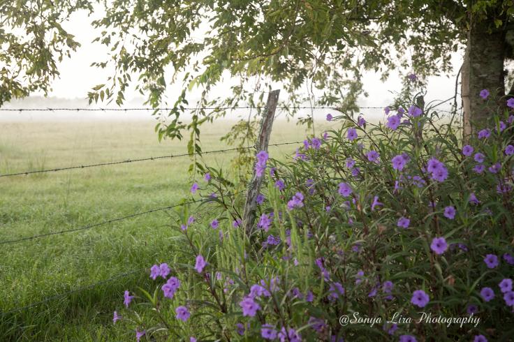 PurpleShowersNBarnedwire