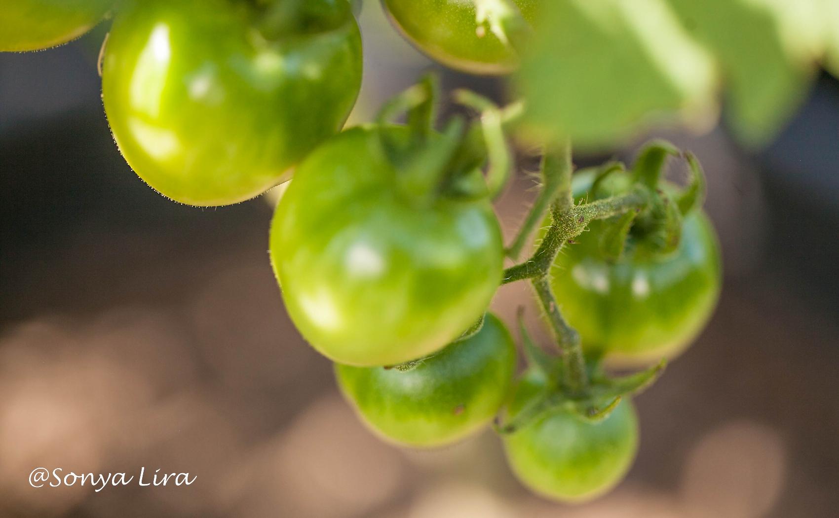 TomatoesMay2020
