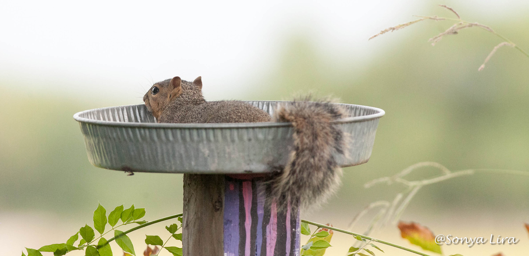 lazydaysquirrel