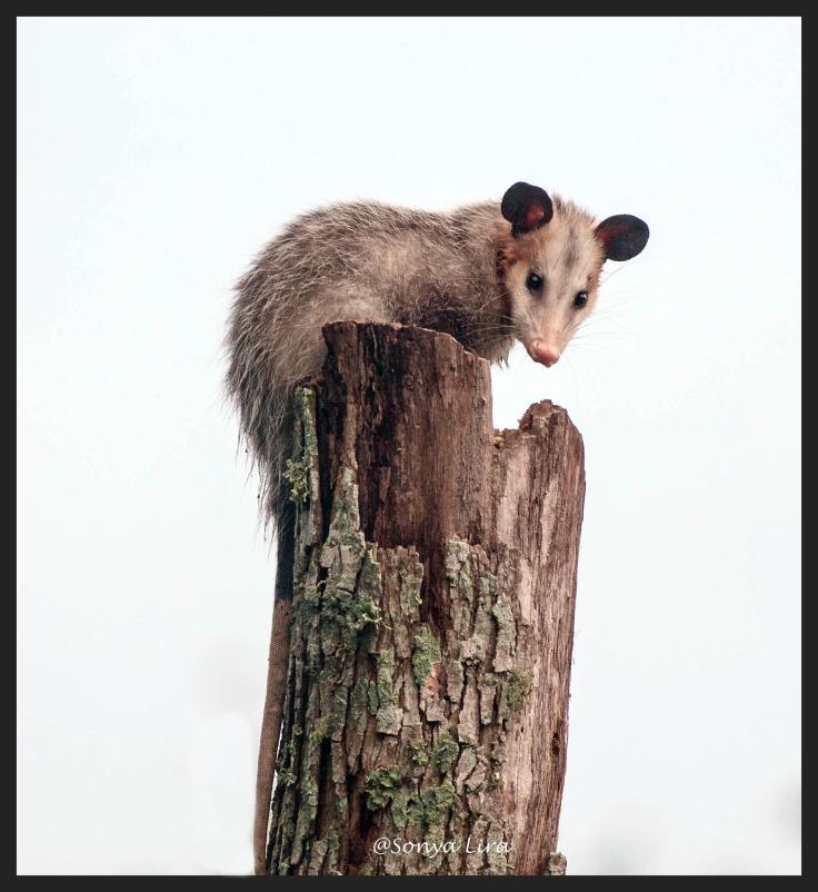 Opossom1
